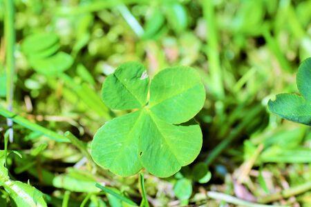 Four leaf clofer photo