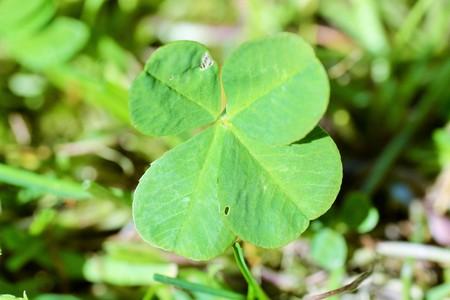 four leaf: Cuatro hojas clofer