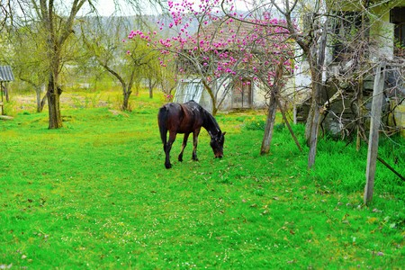 A horse grazing in the yard of an old house photo