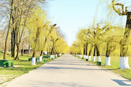 willows: Alley with willows in spring Stock Photo