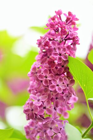syringa: Syringa Lilac is a genus of 12 currently recognized species of flowering woody plants in the olive family Stock Photo