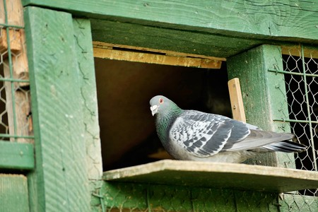 A carrier pigeon or messenger pigeon 写真素材