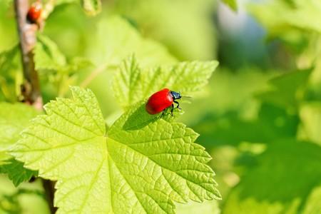 invasive species: Lilioceris cheni the air potato beetle