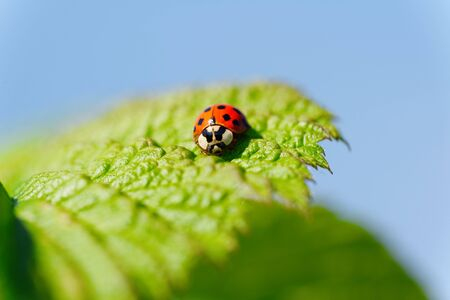 coccinellidae: Coccinellidae are known as ladybugs. Stock Photo