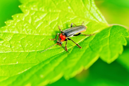 click beetle: Atalantycha bilineata TwoLined Soldier Beetle Stock Photo