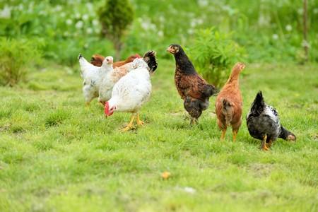 poultry farm: Gallinas y pollos criados en granja orgánica Foto de archivo