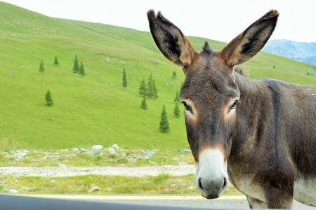 palm sunday: Donkey in the mountains Parang, Romania. Stock Photo