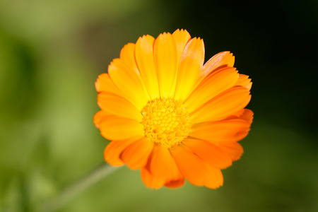 warts: Marigold or more commonly Calendula  has been used to treat conjunctivitis, blepharitis, eczema, gastritis, minor burns including sunburns, warts, and minor injuries such as sprains and wounds.