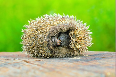 Hedgehogs. There are some 15 species of hedgehog in Europe, Asia, and Africa. Hedgehogs have also been introduced into nontraditional ranges such as New Zealand.