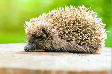 nontraditional: Hedgehogs. There are some 15 species of hedgehog in Europe, Asia, and Africa. Hedgehogs have also been introduced into nontraditional ranges such as New Zealand.