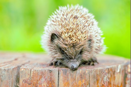 introduced: Hedgehogs. There are some 15 species of hedgehog in Europe, Asia, and Africa. Hedgehogs have also been introduced into nontraditional ranges such as New Zealand.