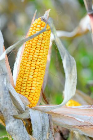 husk: Organic corn.Maize is the most widely grown grain crop throughout the Americas Stock Photo