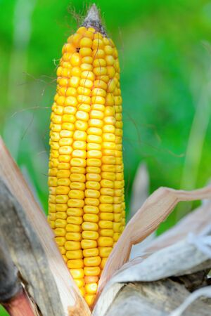 throughout: Organic corn.Maize is the most widely grown grain crop throughout the Americas Stock Photo