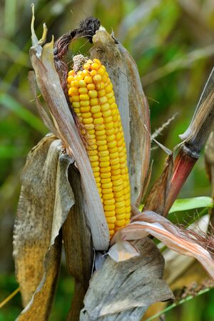 americas: Organic corn.Maize is the most widely grown grain crop throughout the Americas Stock Photo