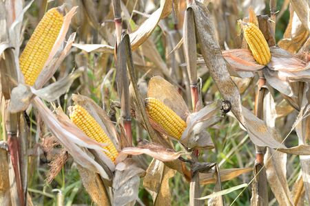 the americas: Organic corn.Maize is the most widely grown grain crop throughout the Americas Stock Photo