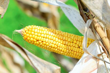 corncob: Organic corn.Maize is the most widely grown grain crop throughout the Americas Stock Photo