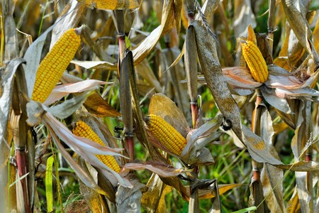 widely: Organic corn.Maize is the most widely grown grain crop throughout the Americas Stock Photo