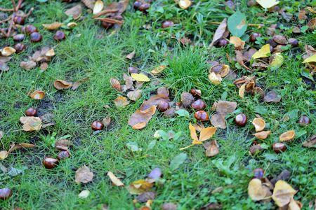 husks: Chestnuts