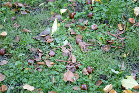 conkers: Chestnuts