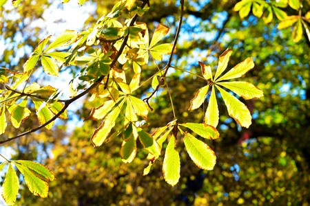 conkers: Chestnut leaves Stock Photo