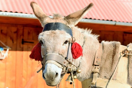ass fun: A donkey with red tassels waiting to be loaded with wood