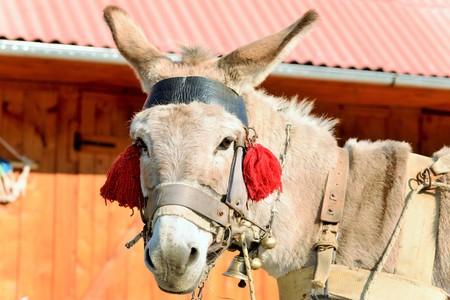 burro: Un burro con borlas rojas que esperan para ser cargado con madera