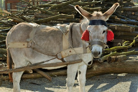 togheter: A donkey with red tassels waiting to be loaded with wood