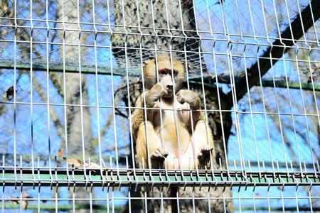 cage gorilla: Baboons in captivity at the zoo