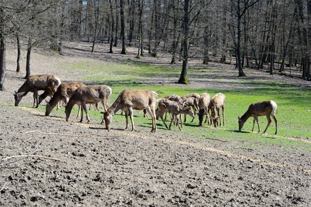 herd of deer: Herd of deer in the woods