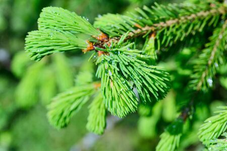 aliments: Fresh pine buds for syrup. Pine bud syrup is very healthy and you can treat aliments such as: asthma, chronic bronchitis, pharyngitis, laryngitis, coughs, colds, tonsillitis, flus, and allergies. Stock Photo