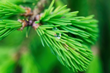 tonsillitis: Fresh pine buds for syrup. Pine bud syrup is very healthy and you can treat aliments such as: asthma, chronic bronchitis, pharyngitis, laryngitis, coughs, colds, tonsillitis, flus, and allergies. Stock Photo