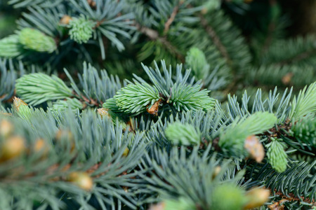 pharyngitis: Fresh pine buds for syrup. Pine bud syrup is very healthy and you can treat aliments such as: asthma, chronic bronchitis, pharyngitis, laryngitis, coughs, colds, tonsillitis, flus, and allergies. Stock Photo