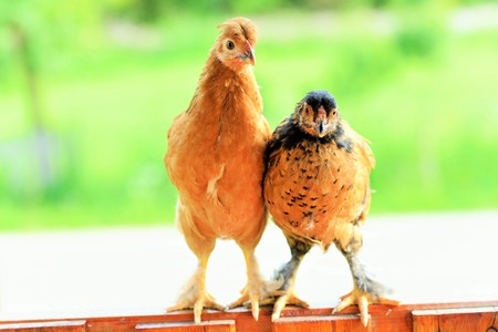 incubation: Two chickens sit on the fence Stock Photo