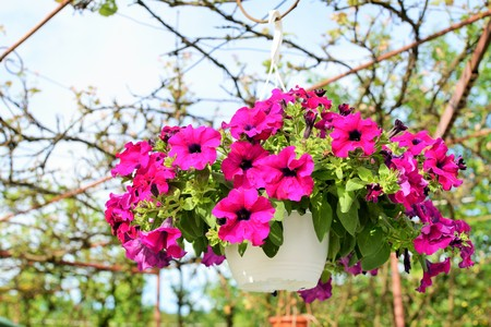 plants species: Petunia is genus of 35 species of [1] flowering plants of South American origin, closely related to tobacco, cape gooseberries, tomatoes, deadly nightshades, potatoes and chili peppers in the same family, Solanaceae. The popular flower of the same name de Archivio Fotografico