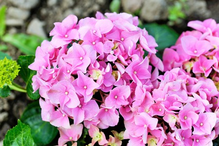 plants species: Hydrangea  is a genus of 70–75 species of flowering plants native to southern and eastern Asia and the Americas. The greatest species diversity is in eastern Asia, notably China, Japan, and Korea. Archivio Fotografico