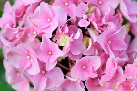 plants species: Ortensia è un genere di 7075 specie di piante da fiore nativo per l'Asia meridionale e orientale e le Americhe. La più grande diversità delle specie è in Asia orientale, in particolare la Cina, il Giappone, e Corea.