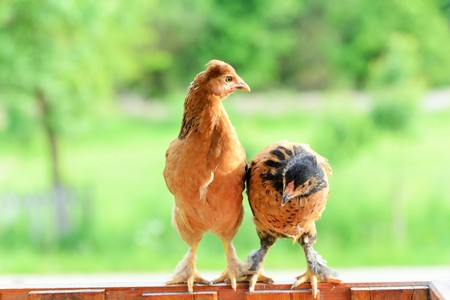 roosting: Two chickens sit on the fence Stock Photo