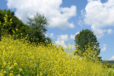 brassica: Landscape with a few clouds on a blue sky and Brassica rapa Stock Photo