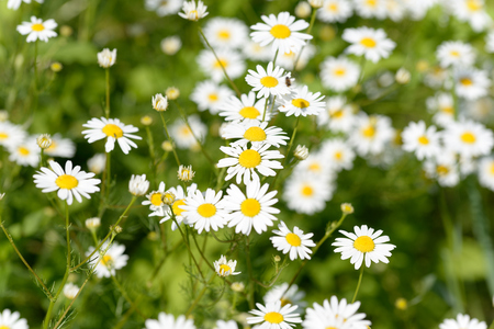 Daisies belong to the daisy family of Compositae, now known as Asteraceae in flowering plants. Daisies are native to north and central Europe