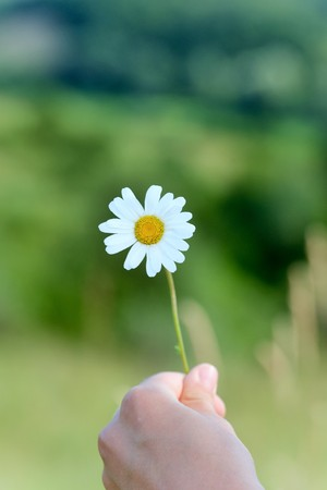 A hand offers a daisy flower