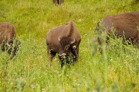 rancho: rancho de bisontes