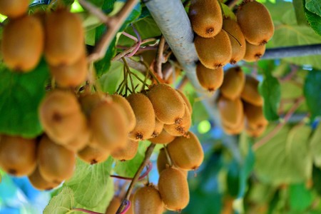 Kiwi vine. The kiwifruit, native to northern China, was first brought to and cultivated in New Zealand at the turn of the 20th century and was then known as the Chinese Gooseberry