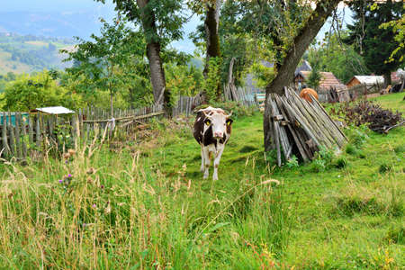 contryside: A cow grazing in the yard of a house in a mountain village