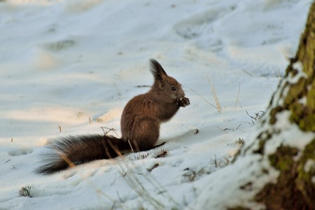 A squirrel eating nuts on snow in forest Stock Photo