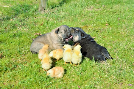 Puppies and baby chicken standing together
