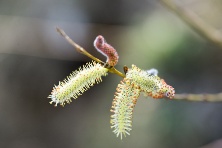 hormonal: Pussy willow have superior therapeutic properties. Recommended for sleeping, treats anxiety, reduce fever, relieve, are beneficial in hormonal disorders, digestive disorders in biliary colitis, anemia