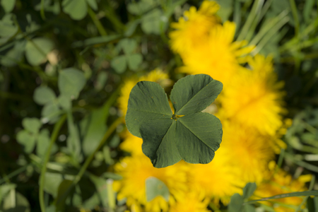 patrick: The four-leaf clover is a rare variation of the common three-leaf clover. According to tradition, such clovers bring good luck. Each leaf is believed to represent something: faith, hope, love and luck