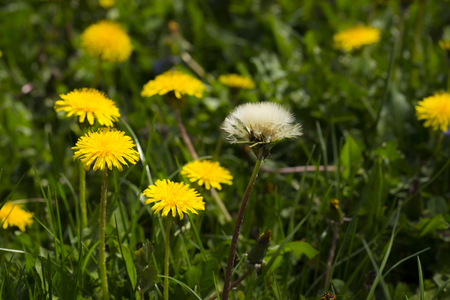 Dandelion, botanical name taraxacum officinale, is a perennial weed.The health benefits of dandelion include relief from liver disorders, diabetes, urinary disorders, acne, jaundice, cancer and anemia Stock Photo
