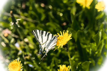 The scarce swallowtail (Iphiclides podalirius) is a butterfly belonging to the family Papilionidae. It is also called the sail swallowtail or pear-tree swallowtail