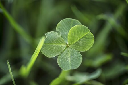 The four-leaf clover is a rare variation of the common three-leaf clover. According to tradition, such clovers bring good luck. Each leaf is believed to represent something: faith, hope, love and luck
